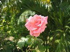 Rose Martinique